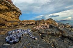 Yellow Lipped Sea Krait Wide (TRAdamson Photography) Tags: komodo island indonesia reptiles reptilephotography reptile snake snakes krait seakrait elapid elapidae