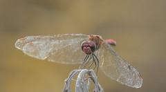 Dragonfly (Torok_Bea) Tags: d7200 dragonfly szitakötő nikon nikond7200 natur nature nikond nationalpark littlebalaton summer macro sigma sigma105 sigmalens sigma105mm
