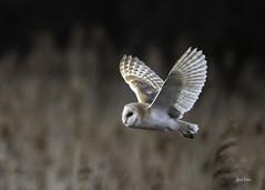 barn owl -3096 (Mark Strain.) Tags: wicken fen barn owl cambridgeshire mark strain february 2019 raptor bird prey