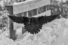 The Headless Raven of Kananaskis (Tracey Rennie) Tags: inflight raven bird corvid snow alberta wings monochrome