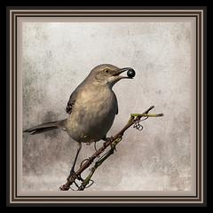 Berry, Berry (cd32919) Tags: florida wildlife bird brown nature cyndydoty texturedbackground framed