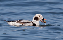 Long-tailed duck (lifer)  Clangula hyemalis (Thy Photography) Tags: clams sandcrab longtailedduck wildlife animal avian ducks duck waterfowl animals bird backyard birds nature outdoor photography sunrise sunset sunshine sanfranciscobayarea sanfrancisco rarebird raresighting bakerbeach clangulahyemalis