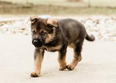 2019-03-02, Mel x Dezi Yellow Male-2 (Falon167) Tags: gsd germanshepherddog german shepherd dog puppy mel dezi melxdezi litter bessie puppies