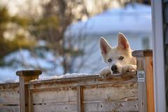 Watch Guard (flashfix) Tags: february112019 2019inphotos easternontario ottawa ontario canada nikond7100 55mm300mm dog canine animal pet husky white heterochromia pupper doggo