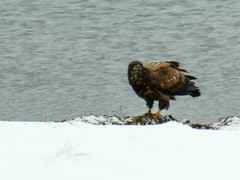 P1040398 (rpealit) Tags: scenery wildlife nature edwin b forsythe national refuge brigantine immature bald eagle bird