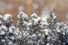 snug, you know (1crzqbn) Tags: snow bokeh rosemary sunlight light outside inmygarden