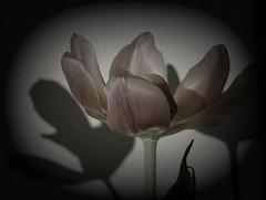 Macro Mondays hard light (Körnchen59) Tags: macromondays thema 18022019 hardlight harteslicht tulpe tulip körnchen59 elke körner sony 6000