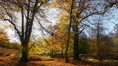 New Forest NP, Hampshire, UK (east med wanderer) Tags: england hampshire uk newforestnationalpark nationalpark forest woodland markashwood lyndhurst autumn