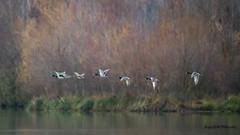 Bodyguards (Jacques GUILLE) Tags: oiseau domainedesoiseaux canardcolvert vol 09 anasplatyrhynchos anatidés ansériformes ariège mallard mazères bird
