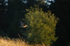 Becasina Común (Tabriss) Tags: becasina ave bird pájaro atardecer sunset canon eos 750d rebel t6i tabriss carlos riquelme 55250