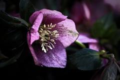 Rose de Noël pourpre (Domikawa4) Tags: hellébore pourpre fleur rose de noël