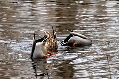 Bottoms Up (Northern Wolf Photography) Tags: 14140mm 140mm ducks em5 feathers fishing olympus reflection water wildlife stoneham massachusetts unitedstatesofamerica us