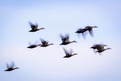 流し鳥 #10ーPanning shot of a bird #10 (kurumaebi) Tags: yamaguchi 秋穂 山口市 nikon d750 nature landscape birds 鳥 野鳥 流し撮り panning