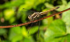DSC_5160 (Adrian Royle) Tags: malaysia tamannegara travel holiday nature wildlife insect odonata dragonfly darter macro nikon