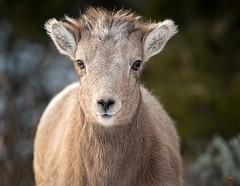 "Inquisitive Bighorn Lamb (Glatz Nature Photography) Tags: ""babyanimals"" lamb bighornsheep glatznaturephotography nature nikond850 northamerica oviscanadensis rockymountainbighornsheep usnationalparks wildanimal wildlife winter yellowstonenationalpark"