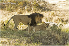 King Lipstick on his Honeymoon! (MAC's Wild Pixels) Tags: kinglipstickonhishoneymoon kinglipstick lion malelion pantheraleo simba animal mammal wildlife africanwildlife wildafrica wildanimal wildcats wildlifephotography carnivore predator hunter kinglion lionking lioness lionpride lions safari gamedrive outdoors outofafrica nature naturephotography kingofthejungle masaimara maasaimaragamereserve kenya macswildpixels coth alittlebeauty natureinfocusgroup ngc coth5 npc