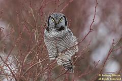 "Northern Hawk Owl (9666) in blueberry (Anthony ""Tony G"" Gliozzo (Web Site is ocbirds.com)) Tags: 14extender 500mm anthonygliozzo britishcolumbia canada canon5dmarkiii northernhawkowl surniaalula ocbirdscom"