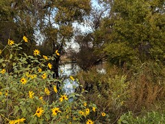 Look past the wild sunflowers (Kelson) Tags: madronamarsh marsh nature hike torrance california trees southbay plants pond flowers sunflowers