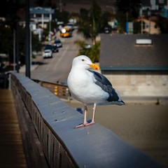 Pacific Gull at the Cayucos Pier No 5 (CDay DaytimeStudios w /1 Million views) Tags: beach ca california cayucos coastline gull highway1 ocean pacificcoast pacificcoasthighway pacificocean pier seagull water