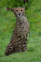 Cheetah @ Zoo de Beauval 17-05-2018 (Maxime de Boer (2)) Tags: azam amiri niru mooi snor tswalu cheetah cheeta jachtluipaard big cats katachtigen zoo parc de beauval saintaignan france animals dieren dierentuin gods creation schepping