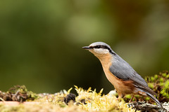 Sitelle torchepot (nuthacth) (denisaguilar1) Tags: oiseauxsauvagenuthachtsitelletorchepot passereau faune forêt