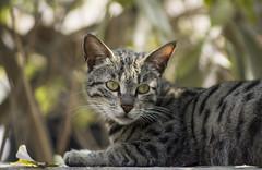 Cat Mood (hasham2) Tags: pet cat caturday bokelicious pentax k3 vintage zoomlens