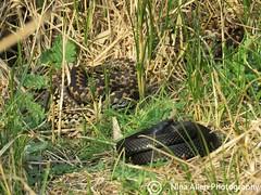 Black Adder and friends. Suffolk 7.4.19 (nina1688) Tags: