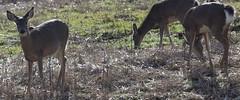 Grazing Deer (Southern Darlin') Tags: deer nature naturephotography photography louisville kentucky
