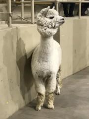 White alpaca (f l a m i n g o) Tags: animal alpaca white show competition