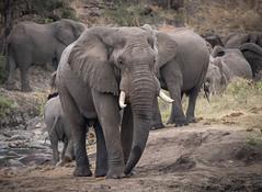 Elephant in Kruger (dunderdan77) Tags: trunk tusk elephant big huge south africa kruger national park wildlife nature outdoor safari hide sweni grey ear nikon tamron d500