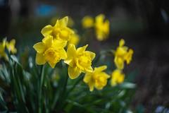 spring brightness (kderricotte) Tags: daffodil flower spring sony ilce7m3 helios helios44458mmf2 bokeh depthoffield garden meadowlarkbotanicalgardens