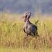 Shoebill (Balaeniceps rex) (TrekLightly) Tags: wakisodistrict uganda ug shoebill balaenicepsrex bird africa mabambaswamp