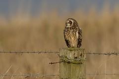 Short-eared Owl (Asio flammeus) (Fly~catcher) Tags: asio flammeus shorteared owl wire post