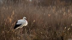 Cigogne blanche (gilbert.calatayud) Tags: ciconiaciconia ciconiidés ciconiiformes cigogneblanche whitestork bird oiseau pajaro ciguena blanca saintes maries de la mer bouches du rhone provence alpes côte d azur