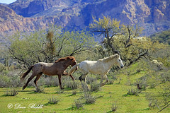 Salt River wild  horses (littlebiddle) Tags: arizona tontonationalforest stallions horse equine