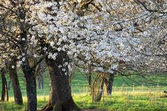 Floraison printanière (Croc'odile67) Tags: nikon d3300 sigma contemporary 18200dcoshsmc paysage landscape arbres trees printemps spring fruhling fleurs flowers