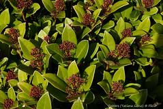 Anglų lietuvių žodynas. Žodis rutaceae reiškia <li>rutaceae</li> lietuviškai.