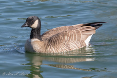 Cackling Goose (aaabela) Tags: anatidae anseriformes aves branta brantahutchinsii cacklinggoose california chordata santabarbaracounty wallerpark bird hutchinsii