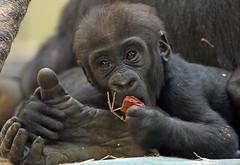 western lowlandgorilla Damsi  artis 094A0343 (j.a.kok) Tags: animal artis africa afrika aap ape mammal monkey mensaap zoogdier dier primate primaat gorilla westelijkelaaglandgorilla westernlowlandgorilla lowlandgorilla laaglandgorilla damsi