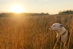 Evening glow... (marlesghillie) Tags: dog staffordshirebullterrier staffy staffie sunset golden goldenhour gold
