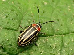 Striped Flea Beetle (treegrow) Tags: rockcreekpark washingtondc nature lifeonearth raynoxdcr250 arthropoda insect beetle coleoptera chrysomelidae disonychapensylvanica