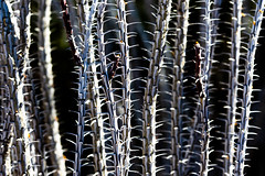 American Desert (Thomas Hawk) Tags: america arizona desertbotanicalgarden papagopark usa unitedstates unitedstatesofamerica cacti cactus desert phoenix us fav10 fav25