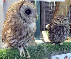 Cuddles and Star (billnbenj) Tags: barrow cumbria owl tawnyowl littleowl raptor birdofprey