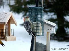 Red-bellied Woodpecker (Picsnapper1212) Tags: redbelliedwoodpecker bird animal nature suet feeder backyard lebanon ohio winter snow