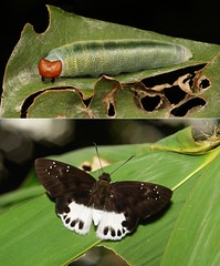METAMORPHOSIS - Water Snow Flat (Tagiades litigiosa, Hesperiidae) (John Horstman (itchydogimages, SINOBUG)) Tags: insect macro china yunnan itchydogimages sinobug entomology collage metamorphosis skipper butterfly lepidoptera hesperiidae caterpillar larva flat tagiades litigiosa tagiadeslitigiosa
