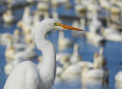 White on white: Great egret with a backdrop of snow geese! (Ruby 2417) Tags: white egret goose snow bird shorebird waterfowl wildlife nature wetland marsh swamp gray lodge water