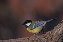 Cinciallegra (andreamellara) Tags: cinciallegra bird uccelli natura avifauna