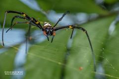Golden orb weaver (Nephila pilipes) - DSC_0148 (nickybay) Tags: sungeibuloh sungeibulohwetlandreserve singapore macro nephila pilipes nephilidae golden orb weaver spider