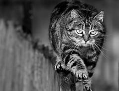 On the fence again (Zèè) Tags: fencewalking cat cats chat fence black white blackandwhite noir noirblanc blanc monochrome katze