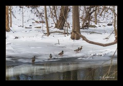 It's been a fowl winter. (* Gemini-6 *) Tags: duck bird winter snow water ice stream trees nature animal framed